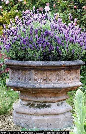 The antique stone urn planted with Lavender in the front garden - Delgado Story
